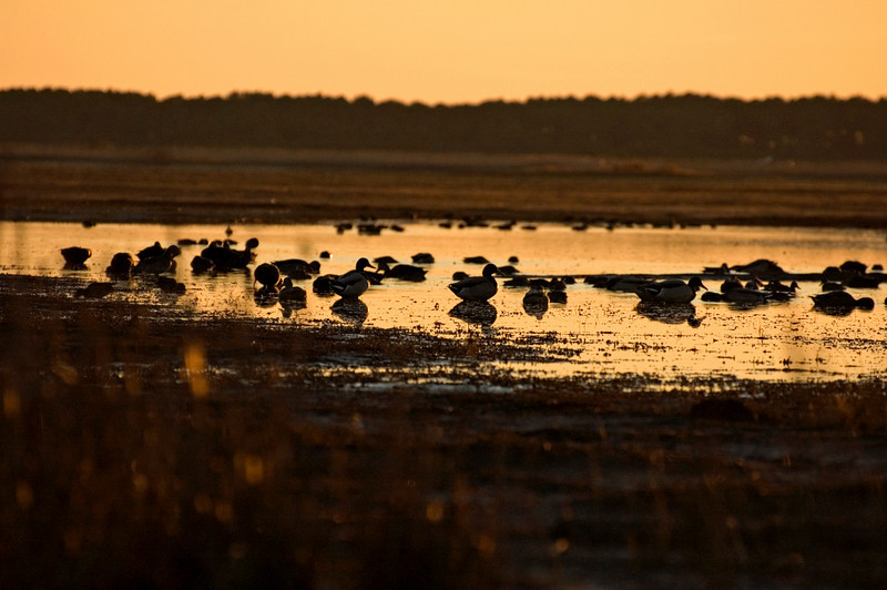 Mallards,Black Ducks & Green Winged Teal.