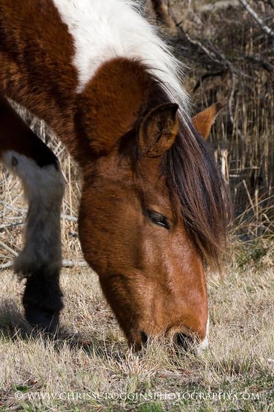 Wild Pony Browsing