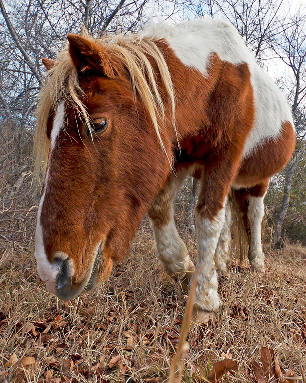 This photograph of a wild horse was captured at Assateague Island National Seashore (1/12).   This photograph is protected by the U.S. Copyright Laws and shall not to be downloaded or reproduced by any means without the formal written permission of Ken Conger Photography.
