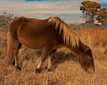 This photograph of a wild horse was captured at Assateague Island National Seashore (1/10).   This photograph is protected by the U.S. Copyright Laws and shall not to be downloaded or reproduced by any means without the formal written permission of Ken Conger Photography.