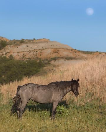 Theodore Roosevelt National Park Wild Horse
