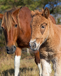 This photograph of a wild horse and colt was captured at Assateague Island National Seashore (11/11).   This photograph is protected by the U.S. Copyright Laws and shall not to be downloaded or reproduced by any means without the formal written permission of Ken Conger Photography.