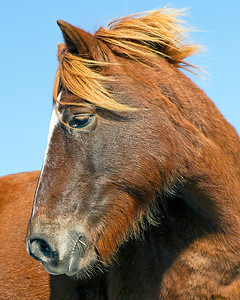 This photograph of a wild horse was captured at Assateague Island National Seashore (11/11).   This photograph is protected by the U.S. Copyright Laws and shall not to be downloaded or reproduced by any means without the formal written permission of Ken Conger Photography.