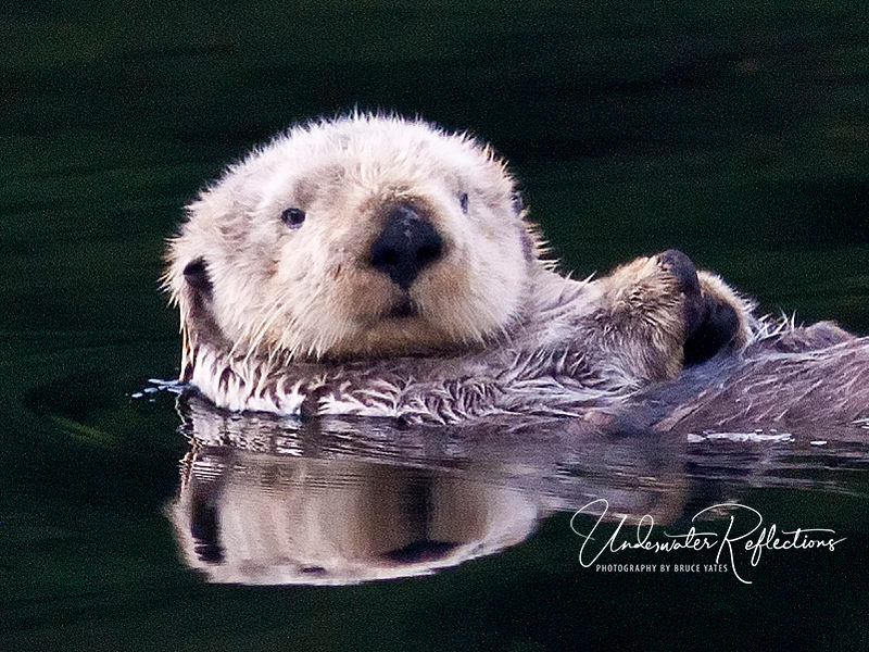 "As cute and cuddly as you can imagine, but this sea otter (Nootka Sound, B.C., Canada) isn't something you'd want to mess with.  As one person who used to study them described it, they are like ""a chainsaw in a gunny sack!"""