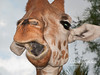 A little tongue-tied!  Giraffe at Ngala Game Reserve. (Naples, FL.)