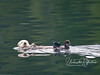 Sea Otter - Nootka Sound, BC Canada