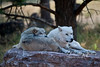 Two artic wolves, taken at Bear Country USA in South Dakota