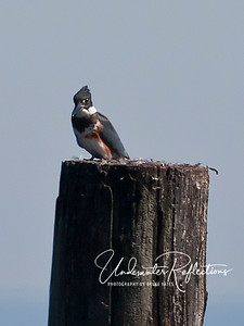 Kingfisher (Puget Sound, WA)