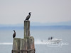 Two cormorants drying off in between fishing dives.