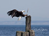 Bald eagle landing on piling with the remnants of a young seagull it is in the process of eating.