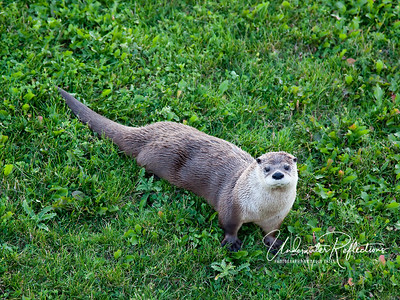 River Otter at Bear Country USA in South Dakota
