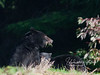 Black bear sow and cub eating grass - Nootka Sound, BC Canada