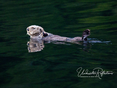 "Sea Otter, with one of his feet submerged ""paddling"" him along - Nootka Sound, BC Canada"