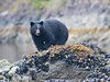Black bear foraging among mussels at low tide - Nootka Sound, BC Canada