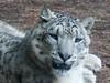 Snow leopard (Woodland Park Zoo, Seattle)