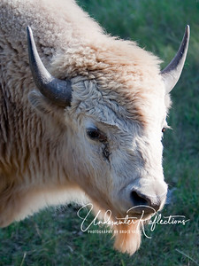 Rare white buffalo at Bear Country USA in South Dakota