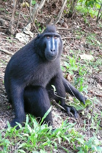 Crested Black Macaque. North Sulawesi, Indonesia 2006