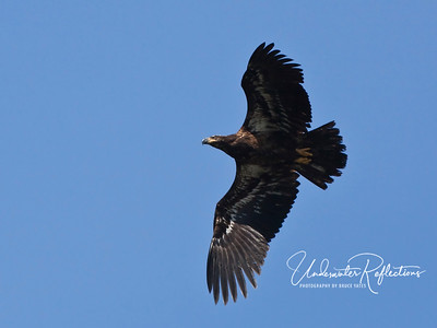 Juvenile bald eagle (the head doesn't turn white until adulthood - until then, they look much like golden eagles)