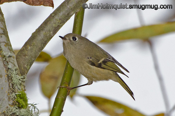 Ruby-crowned Kinglet - near Olympia, Wa.<br /> <br /> I wanted to thank everyone for all the interest and the kind comments about my Osprey photo yesterday. I really appreciate it!