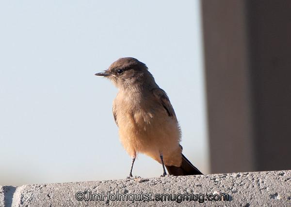Say's Phoebe - Birds of Prey area near Kuna, Id