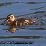 Mallard duckling - near Olympia, Wa