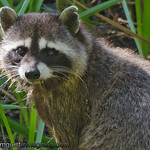 Racoon - Nisqually Wildlife Refuge near Olympia, Wa