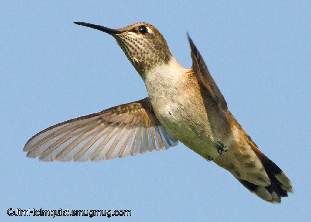 Rufous Hummingbird - in flight near Olympia, Wa