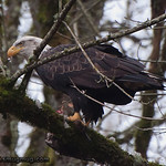 Bald Eagle - Nisqually Wildlife Refuge near Olympia, WA