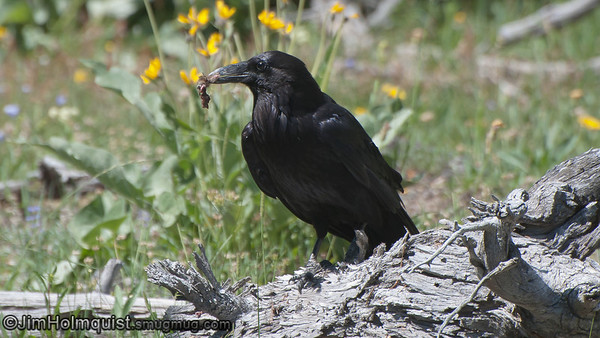 Common Raven - Yellowstone Park