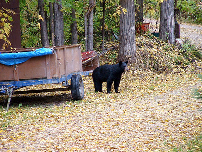 Janet's pic of a bear cub took in our yard at Ralls Island.