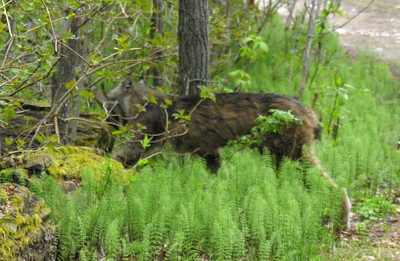 Thanks to the delay on our old Nikon 8800 digital camera. the next pic I could take was of the Lynx leaving, squirrel in mouth Note the long back leg.
