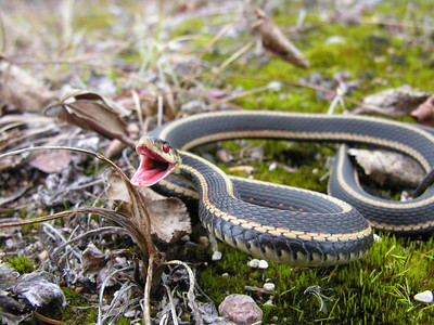 October 21, 2007 - Janet found this Red Sided Garter Snake slowly crawling down a bush road while accompanying me hunting Grouse  Although he was moving quite slowly he perked up in defending himself with his fang less mouth. It is unusual to see snakes this late in the year.