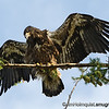 American Bald Eagle - fledgling stretching wings  near Olympia, Wa