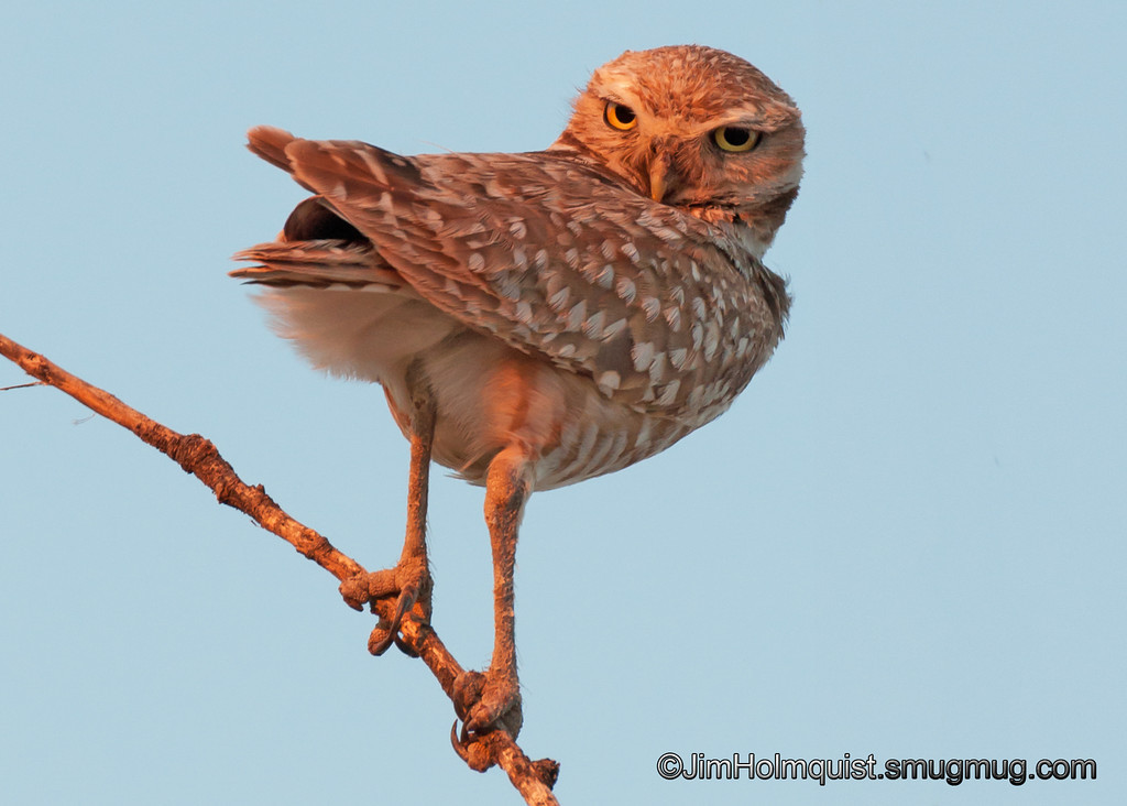 Burrowing Owl - Birds of Prey area near Kuna, Id