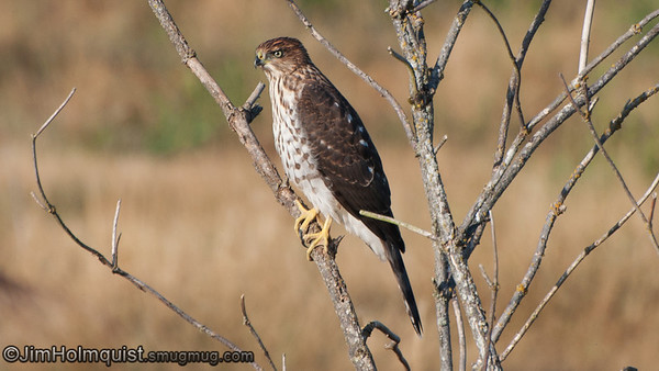 Sharpshinned and Cooper's Hawks