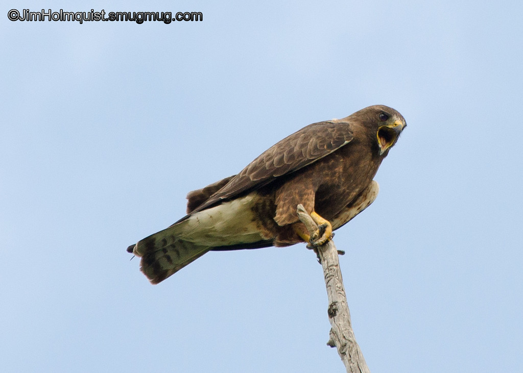Swainson's Hawk - near Idaho Falls, Id