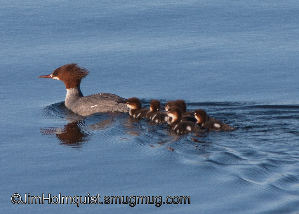 Common Merganser and ducklings - Nisqually Wildlife Refuge near Olympia, Wa