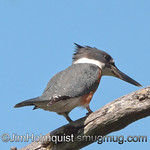 Belted Kingfisher - Scattercreek near Olympia, Wa. Taken in 2010.