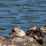 Mallard ducklings - Capital Lake near Olympia, Wa