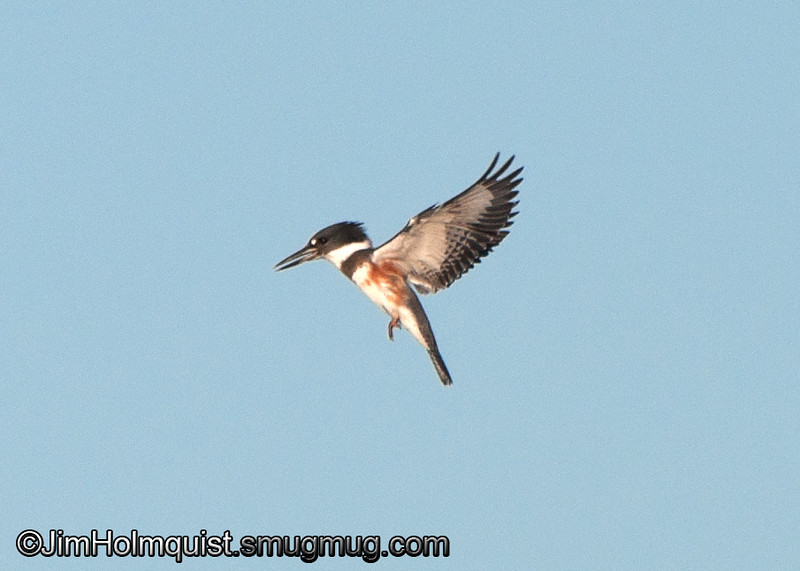 Belted Kingfisher - Nisqually Wildlife Refuge near Olympia, Wa