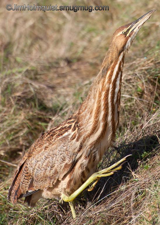 American Bittern - Nisqually Wildlife Refuge near Olympia, Wa
