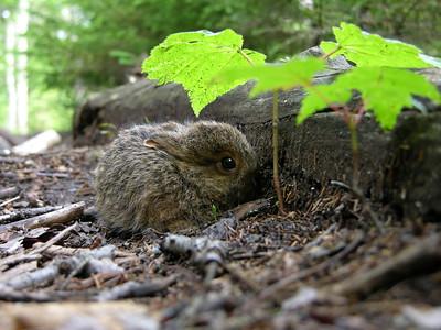 Baby Bunny, Acadia Nat Park, Maine