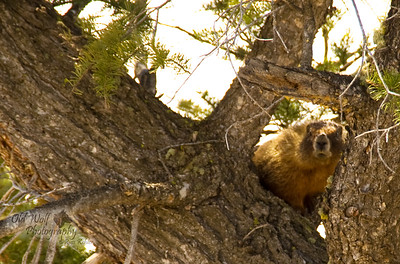 Golden Marmot, Yellowstone
