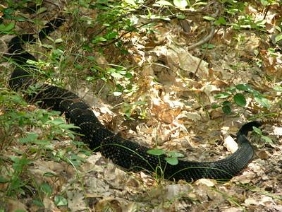 Rattle Snake, Broad Mtn. Poconos
