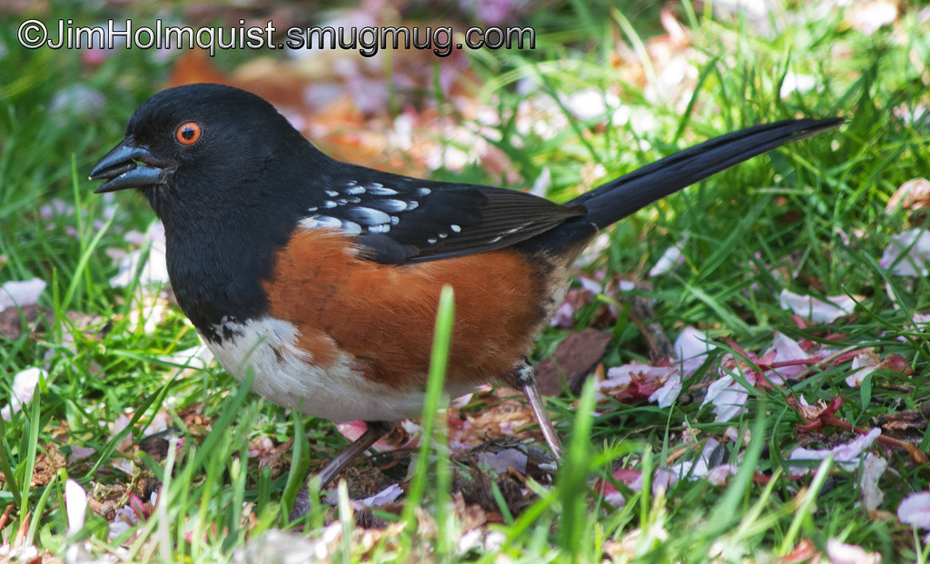 Western Spotted Towhee - near Olympia, Wa