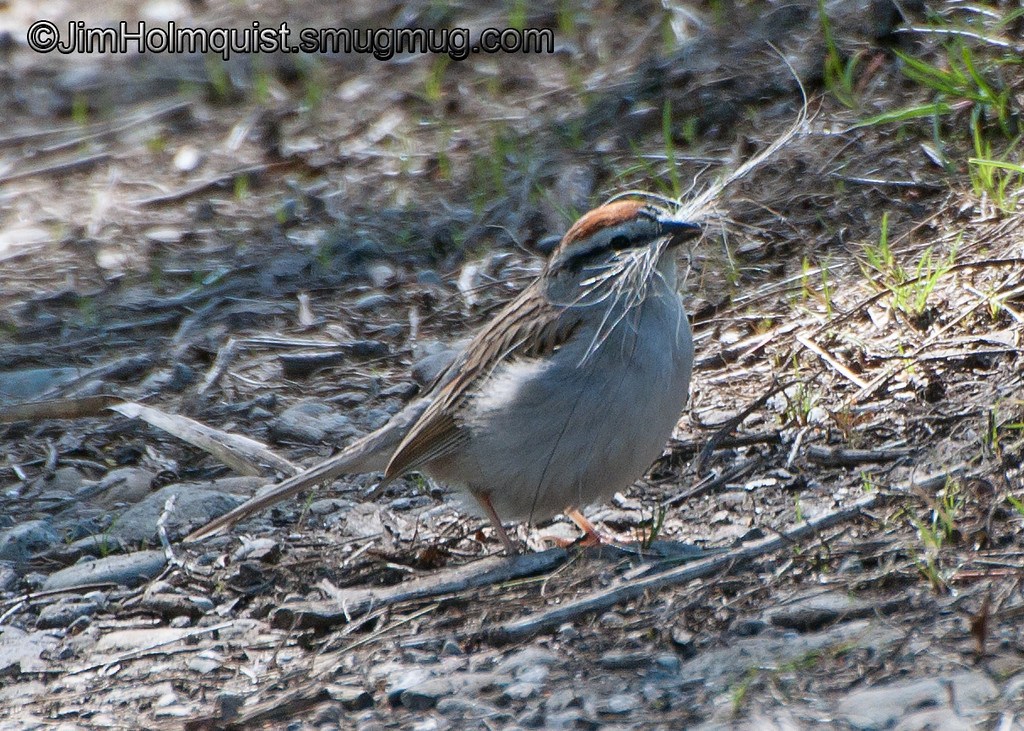 Chipping Sparrow - with nesting materials near Olympia, Wa