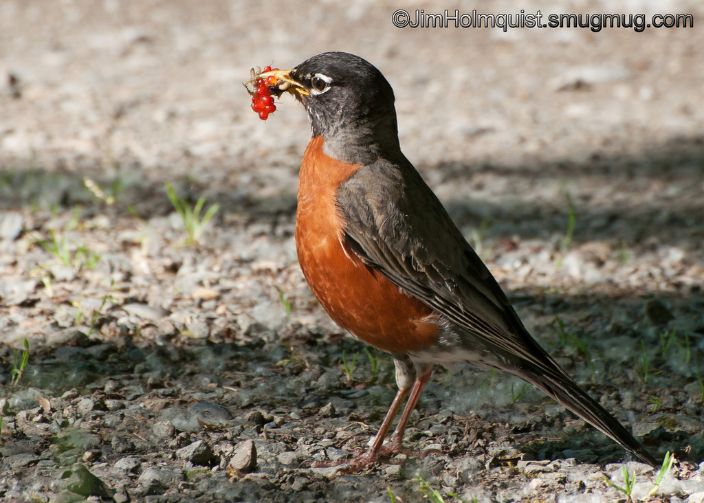 American Robin - with juicy grubs and berries at Nisqually Wildlife Refuge near Olympia, Wa