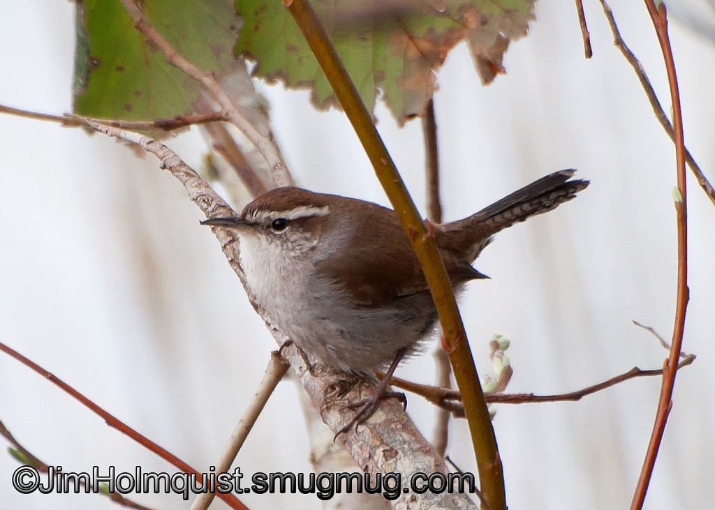 Bewick's Wren - Nisqually Wildlife Refuge near Olympia, Wa