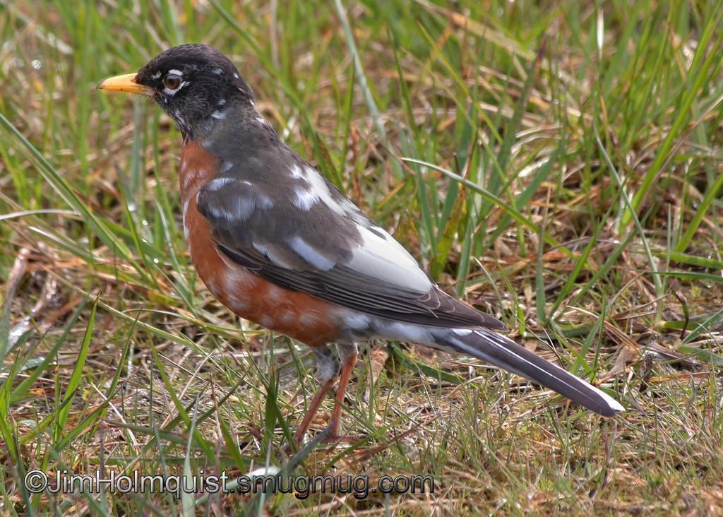 American Robin Leucistic - near Olympia, Wa