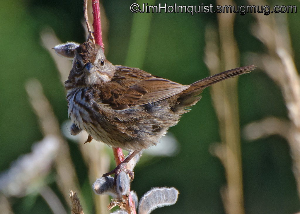 Song Sparrow - near Olympia, Wa